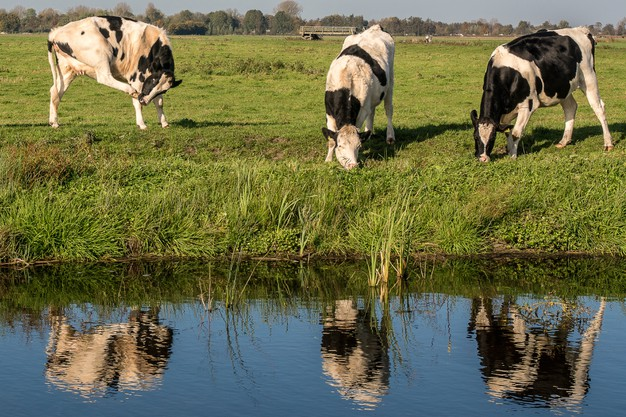 grassy-field-near-water-with-cows-eating-grass-daytime_181624-10731